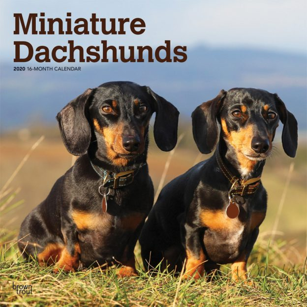 Miniature Dachshunds 2020 12 x 12 Inch Monthly Square Wall Calendar, Animals Small Dog Breeds