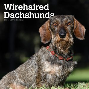 Wirehaired Dachshunds 2020 12 x 12 Inch Monthly Square Wall Calendar, Animals Dog Breeds