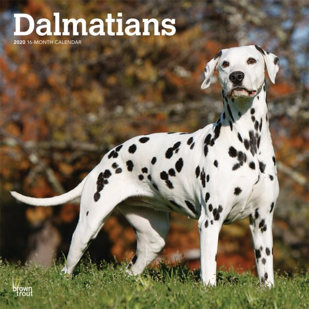 Dalmatians 2020 12 x 12 Inch Monthly Square Wall Calendar, American Dog Breeds