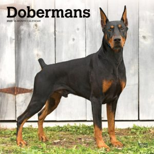 Dobermans 2020 12 x 12 Inch Monthly Square Wall Calendar, Animals Dog Breeds