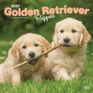 Golden Retriever Puppies 2020 12 x 12 Inch Monthly Square Wall Calendar, Animals Dog Breeds Golden Puppies