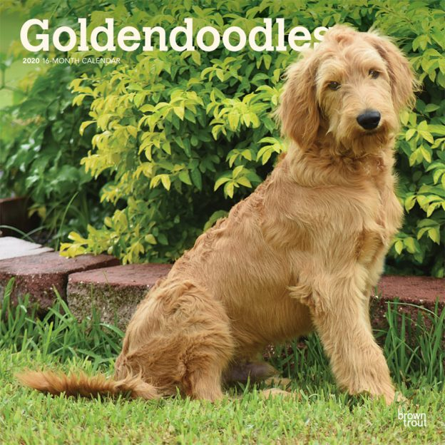 Goldendoodles 2020 12 x 12 Inch Monthly Square Wall Calendar, Animals Mixed Dog Breeds