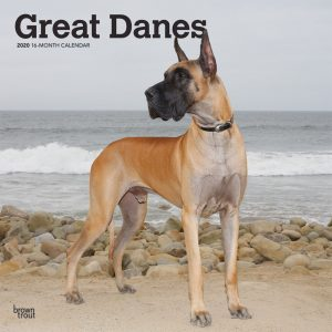 Great Danes 2020 12 x 12 Inch Monthly Square Wall Calendar, Animals Dog Breeds