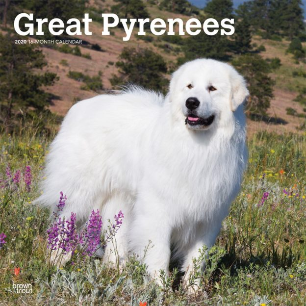 Great Pyrenees 2020 12 x 12 Inch Monthly Square Wall Calendar, Animals Dog Breeds