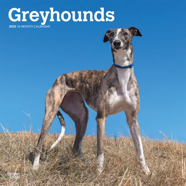 Greyhounds 2020 12 x 12 Inch Monthly Square Wall Calendar, Animals Dog Breeds