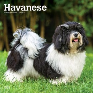 Havanese 2020 12 x 12 Inch Monthly Square Wall Calendar, Animals Small Dog Breeds