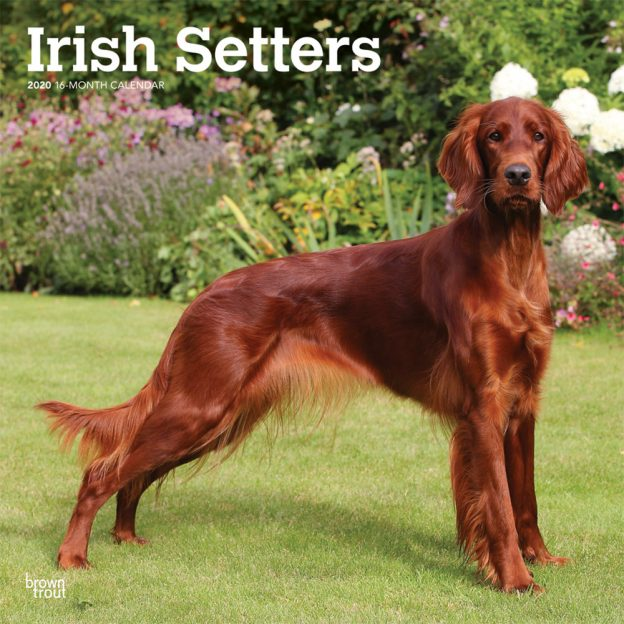 Irish Setters 2020 12 x 12 Inch Monthly Square Wall Calendar, Animals Irish Dog Breeds