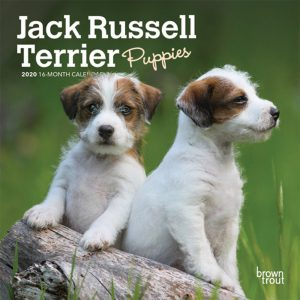 Jack Russell Terrier Puppies 2020 7 x 7 Inch Monthly Mini Wall Calendar, Animals Dog Breeds Terriers