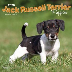 Jack Russell Terrier Puppies 2020 12 x 12 Inch Monthly Square Wall Calendar, Animals Dog Breeds Terriers