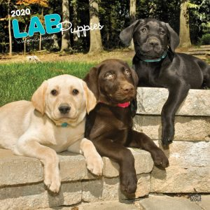 Lab Puppies 2020 12 x 12 Inch Monthly Square Wall Calendar, Animals Dog Breeds Retriever Puppies