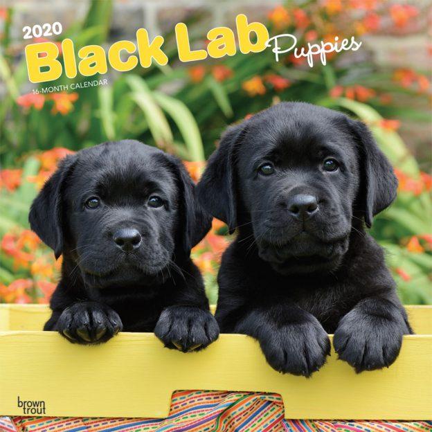 Black Labrador Retriever Puppies 2020 12 x 12 Inch Monthly Square Wall Calendar, Animals Dog Breeds Retriever Puppies