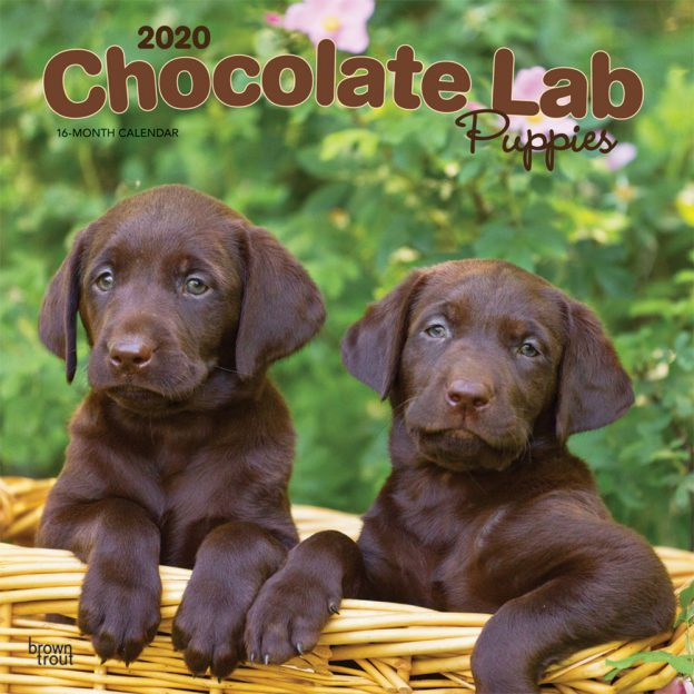 Chocolate Labrador Retriever Puppies 2020 12 x 12 Inch Monthly Square Wall Calendar, Animals Dog Breeds Retriever Puppies