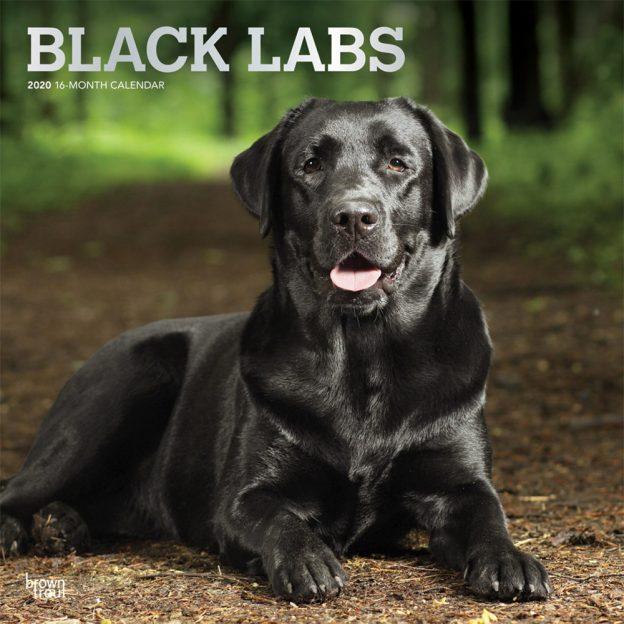Black Labrador Retrievers 2020 12 x 12 Inch Monthly Square Wall Calendar with Foil Stamped Cover, Animals Dog Breeds Retriever