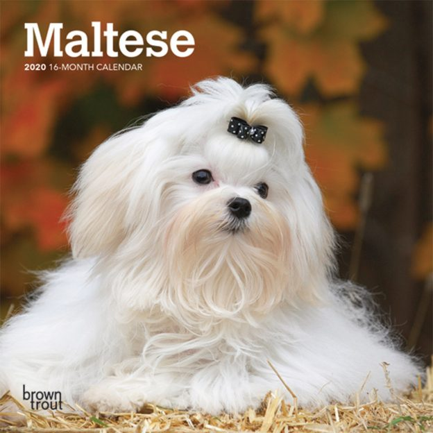 Maltese 2020 7 x 7 Inch Monthly Mini Wall Calendar, Animals Small Dog Breeds