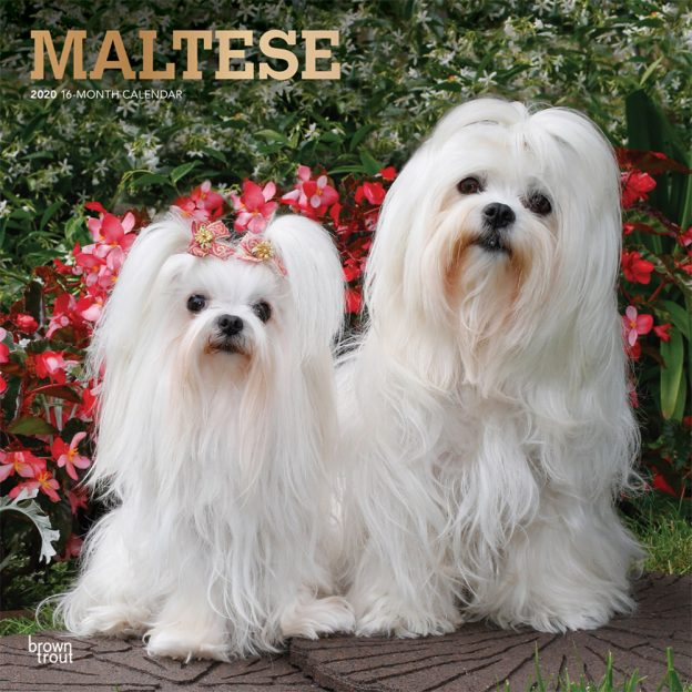 Maltese 2020 12 x 12 Inch Monthly Square Wall Calendar with Foil Stamped Cover, Animals Small Dog Breeds