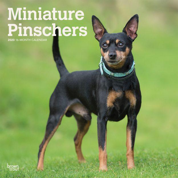 Miniature Pinschers 2020 12 x 12 Inch Monthly Square Wall Calendar, Animals Dog Breeds