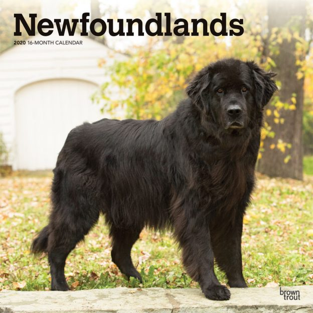 Newfoundlands 2020 12 x 12 Inch Monthly Square Wall Calendar, Animals Dog Breeds
