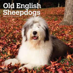 Old English Sheepdogs 2020 12 x 12 Inch Monthly Square Wall Calendar, Animals Dog Breeds