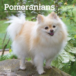 Pomeranians 2020 7 x 7 Inch Monthly Mini Wall Calendar, Animals Small Dog Breeds