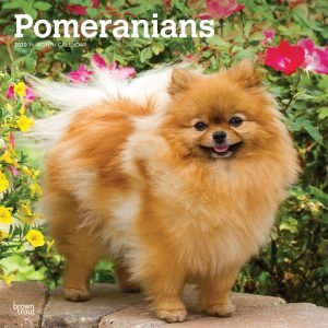 Pomeranians 2020 12 x 12 Inch Monthly Square Wall Calendar, Animals Small Dog Breeds