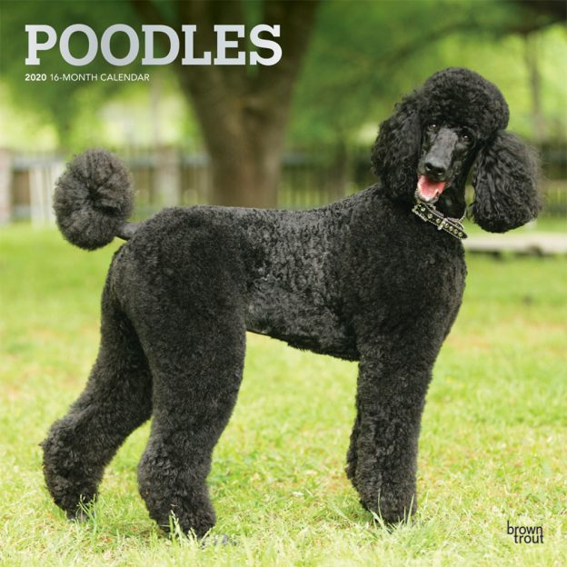 Poodles 2020 12 x 12 Inch Monthly Square Wall Calendar with Foil Stamped Cover, Animals Dog Breeds