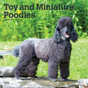 Toy and Miniature Poodles 2020 12 x 12 Inch Monthly Square Wall Calendar, Animals Small Dog Breeds
