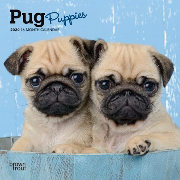 Pug Puppies 2020 7 x 7 Inch Monthly Mini Wall Calendar, Animals Dog Breeds Puppies