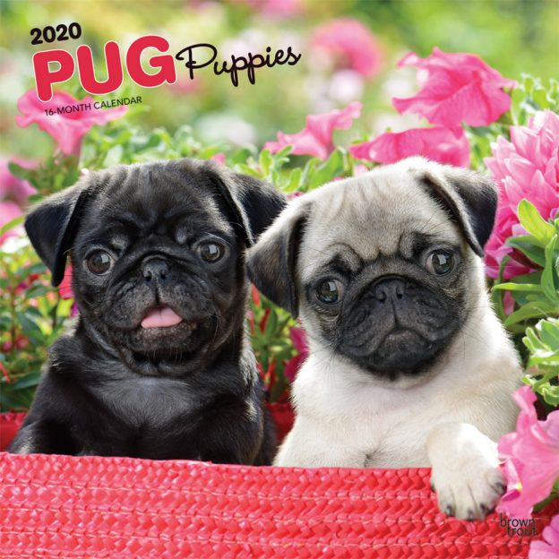 Pug Puppies 2020 12 x 12 Inch Monthly Square Wall Calendar, Animals Dog Breeds Puppies