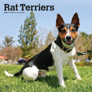 Rat Terriers 2020 12 x 12 Inch Monthly Square Wall Calendar, Animals Dog Breeds Terriers