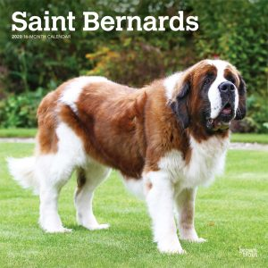Saint Bernards 2020 12 x 12 Inch Monthly Square Wall Calendar, Animals Dog Breeds