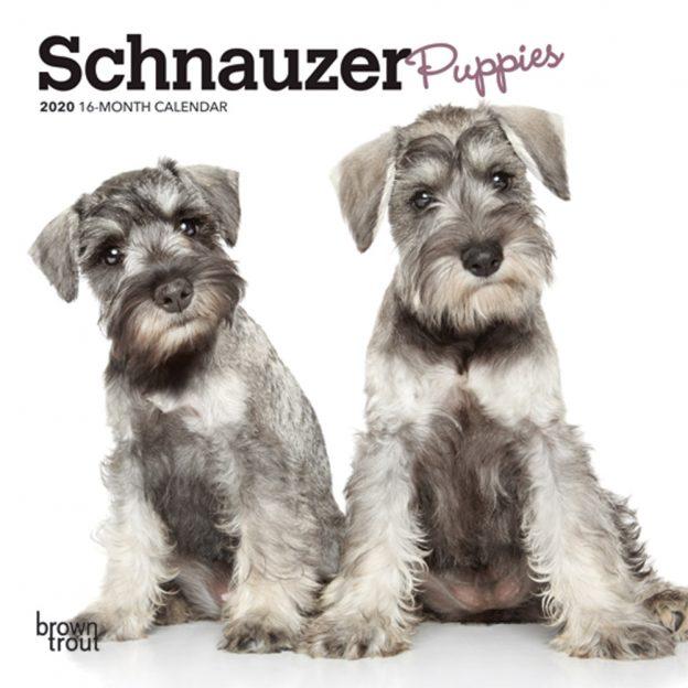 Schnauzer Puppies 2020 7 x 7 Inch Monthly Mini Wall Calendar, Animals Dog Breeds Puppies