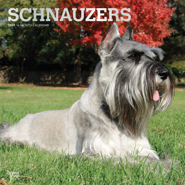 Schnauzers 2020 12 x 12 Inch Monthly Square Wall Calendar with Foil Stamped Cover, Animals Dog Breeds