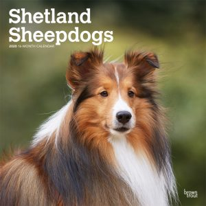 Shetland Sheepdogs 2020 12 x 12 Inch Monthly Square Wall Calendar, Animals Dog Breeds