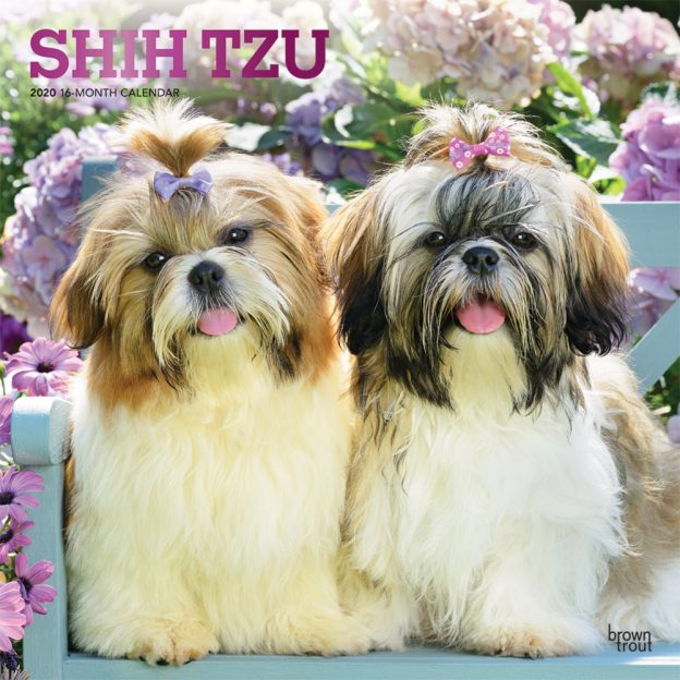 Shih Tzu 2020 12 x 12 Inch Monthly Square Wall Calendar with Foil Stamped Cover, Animals Small Dog Breeds