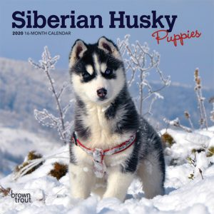 Siberian Husky Puppies 2020 7 x 7 Inch Monthly Mini Wall Calendar, Animal Dog Breeds Husky