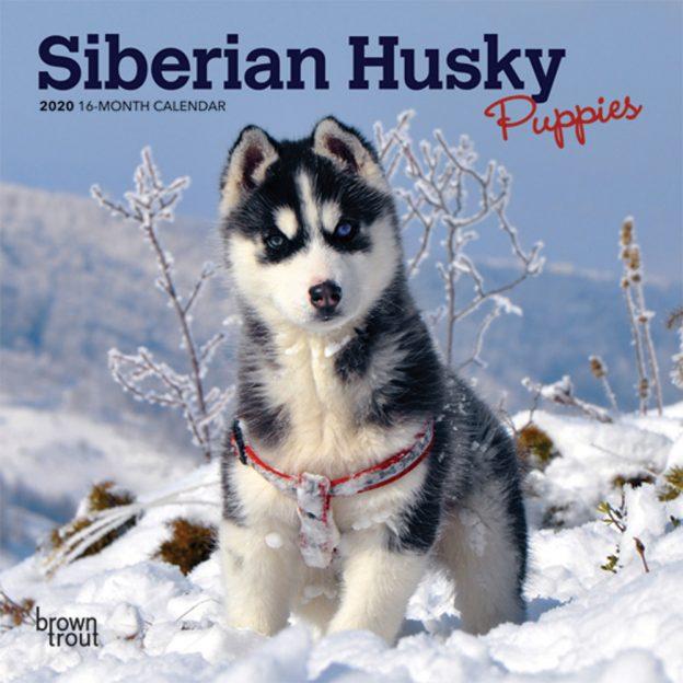 Siberian Husky Puppies 2020 7 x 7 Inch Monthly Mini Wall Calendar, Animal Dog Breeds Husky