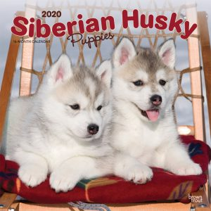 Siberian Husky Puppies 2020 12 x 12 Inch Monthly Square Wall Calendar, Animal Dog Breeds Husky