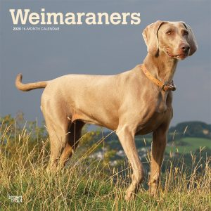 Weimaraners 2020 12 x 12 Inch Monthly Square Wall Calendar, Animals Dog Breeds
