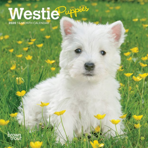 West Highland White Terrier Puppies 2020 7 x 7 Inch Monthly Mini Wall Calendar, Animals Dog Breeds Terrier Puppies