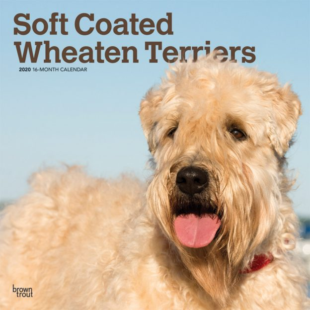 Soft Coated Wheaten Terriers 2020 12 x 12 Inch Monthly Square Wall Calendar, Animals Dog Breeds Terriers