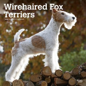 Wirehaired Fox Terriers 2020 12 x 12 Inch Monthly Square Wall Calendar, Animals Dog Breeds Terriers