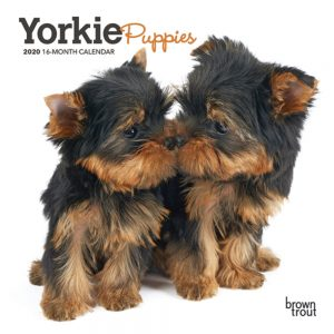 Yorkie Puppies 2020 7 x 7 Inch Monthly Mini Wall Calendar, Animals Small Dog Breeds Terrier Yorkshire Terrier