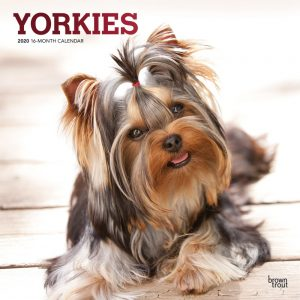 Yorkies 2020 12 x 12 Inch Monthly Square Wall Calendar with Foil Stamped Cover, Animals Small Dog Breeds Yorkshire Terriers