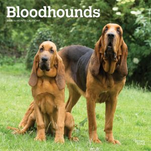 Bloodhounds 2020 12 x 12 Inch Monthly Square Wall Calendar, Animals Dog Breeds Hound