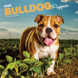 Bulldog Puppies 2020 12 x 12 Inch Monthly Square Wall Calendar, Animals Dog Breeds Terrier