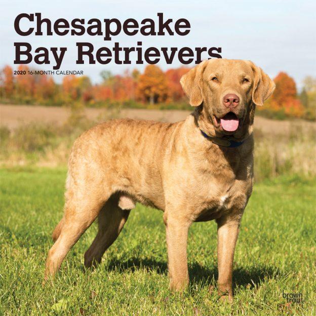 Chesapeake Bay Retrievers 2020 12 x 12 Inch Monthly Square Wall Calendar, Animals Dog Breeds Retrievers