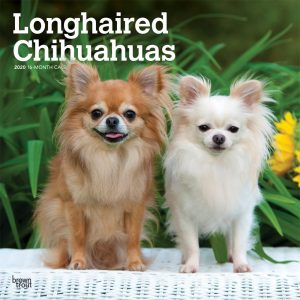 Longhaired Chihuahuas 2020 12 x 12 Inch Monthly Square Wall Calendar, Animals Small Dog Breeds