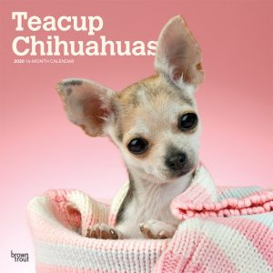 Teacup Chihuahuas 2020 12 x 12 Inch Monthly Square Wall Calendar, Animals Small Dog Breeds