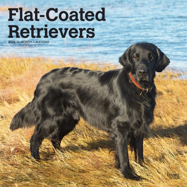 Flat Coated Retrievers 2020 12 x 12 Inch Monthly Square Wall Calendar, Animals Dog Breeds Retrievers