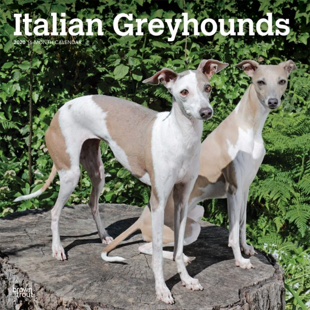 Italian Greyhounds 2020 12 x 12 Inch Monthly Square Wall Calendar, Animals Italian Dog Breeds